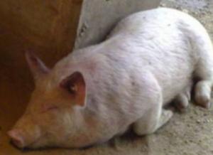 秋冬季节猪场杀手――猪传染性胸膜肺炎