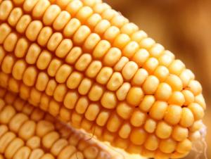 """今年玉米收储将按""""市场化收购加补贴""""原"""