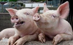 新增工厂能否提振美国低迷猪价值得探讨
