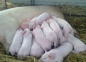 缩短母猪产程小窍门,你或许用得上!