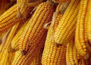 东北玉米收获进入尾声 港口库存偏紧提振