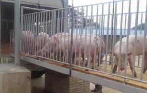 外媒进口猪肉将大量涌入 因为中国有人和需求!