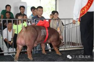 喜讯:正大集团编号161066杜洛克种公猪获综合指数、专家组外型评定第一名。