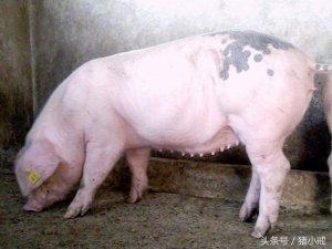 母猪为何需要保健?
