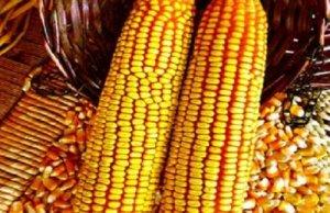 玉米价格低迷 专家提醒:现阶段惜售不可