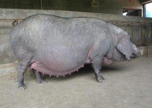 关注母猪营养,增强母猪生产性能