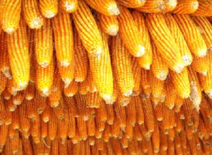 黑龙江省玉米生产者补贴标准划定