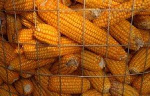 玉米期价存在回调风险