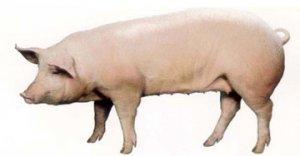 后备母猪应该这样来饲