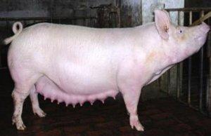 控制两大疾病有效减少母猪异常淘汰