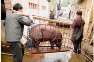 养殖户遇上麻烦事!卖猪少了50斤 谁对谁错难分辨