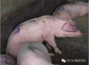 又要降温,提前做好预防让猪群不再喘气咳嗽