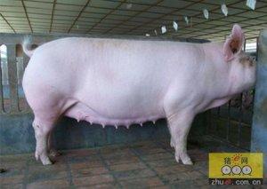 母猪淘汰背后的真相!