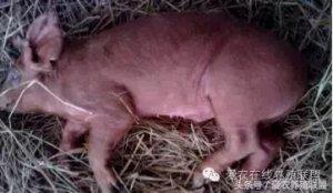 兽医站站长总结:猪场三大细菌性疾病的防治