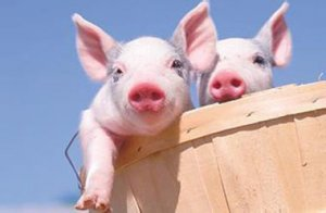 养猪人不能不知道:生猪期货或许是致富敲门砖