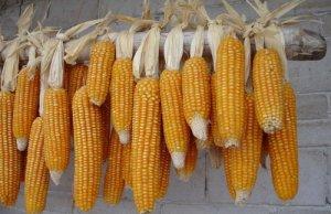 """农民不懂 企业未知:玉米市场的""""饿汉聚"""