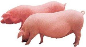 你听说过育肥猪偏肥吗