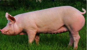 后备母猪营养调节促高