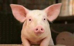 仔猪长的慢!教你如何破解僵猪
