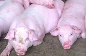 雏鹰农牧10月份销售生猪20.09万头,实现销售收入2.98亿元