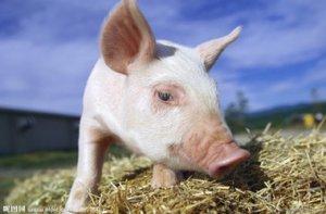 国际贸易商正在向中国倾销猪肉