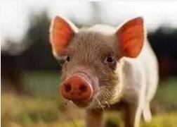 冬季猪呼吸道病综合征