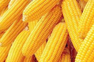 高能预警!东北玉米将迎销售高峰 物流天