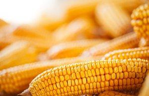售粮进度区域分化 玉米价格短期坚挺