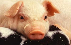 寒潮来袭博弈加剧 猪价仍有较好上涨空间