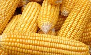 """外运困难!霉变凸显!玉米后期""""以质定价"""