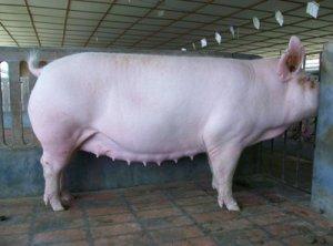 你的母猪缺钙了怎么做?