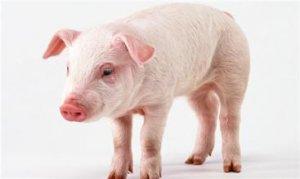 """牧原股份扩张面临激烈竞争 猪周期""""携手""""进口猪搅局"""