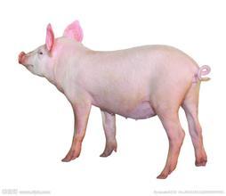 绿叶教您4步搞定病毒引起的猪腹泻性疾病