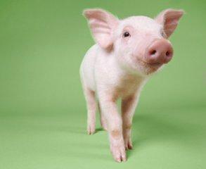 猪肉价格继续调整 白条猪个头越长越大