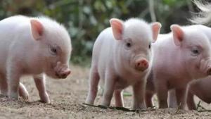 提高哺乳仔猪成活率的