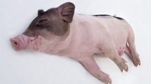 走私猪受到打击,养猪户是不是就可以高枕无忧了呢?我看未必!