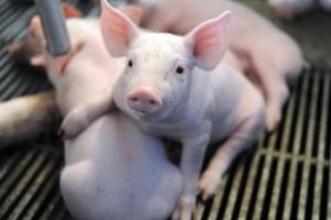 冬季养猪场保暖的几点