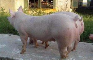 后备母猪不发情 多见