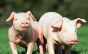您家的猪微生物了吗?