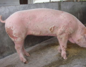 母猪不食原因多 这几个方面来解决