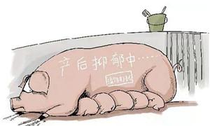 治母猪产后不吃有良方