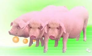 自繁自养猪群体PRRSV感染和抗体阳转时间的相关因素