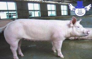 母猪产后食欲差怎么办