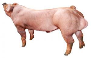 我国养猪业从国外引入猪种的共同特征!