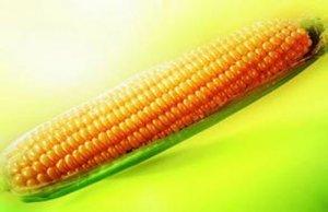 企业降低采购价格  春节前后玉米市场难乐