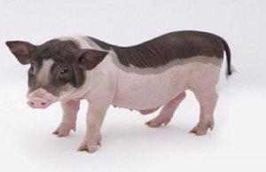 我国拥有72个地方优良猪种 却没有自己的