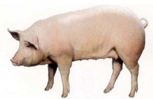 母猪在妊娠期为什么肢