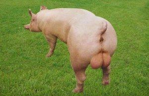 为提高种公猪的生产效益,熟记三大要点!