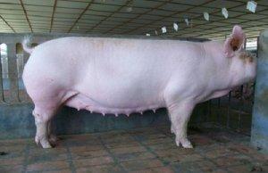 能繁母猪返情,您找到