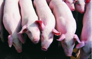 猪舍内为什么产生有毒